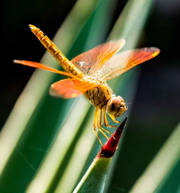 orange dragonfly on red and green leaf